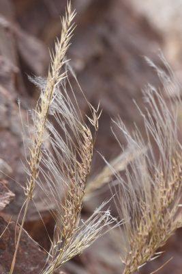 מלענן שעיר-גלומה Stipagrostis hirtigluma (Steud. ex Trin. & Rupr.) de Winter )