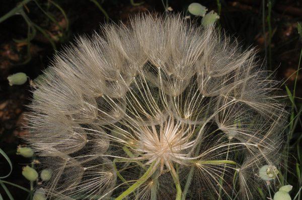 זקן-תיש ארוך Tragopogon coelesyriacus Boiss.