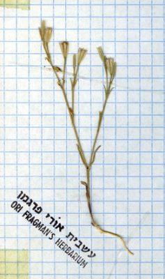 חלוק ערבי Petrorhagia arabica (Boiss.) P.W.Ball & Heywood