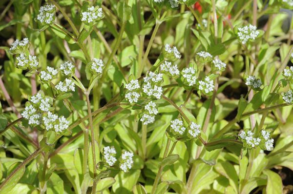 ולריינית הקרינים Valerianella carinata Loisel.