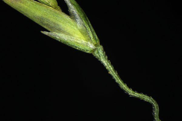 Eremopoa songarica (Schrenk) Roshev.