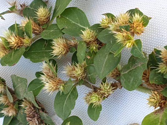 ביצן דוקרני Alternanthera pungens Kunth