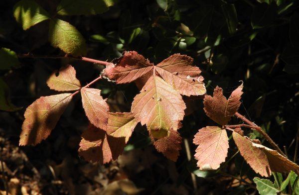 Rubus canescens DC.