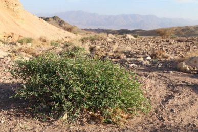 בן-שיח של המדבר הקיצוני, העלים מנוצים, הפרחים פרפרניים ורודים, הפירות הם תרמילים ארוכים וצרים
