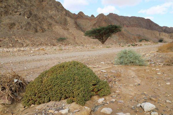 באשן עגול-עלים Cleome droserifolia (Forssk.) Delile