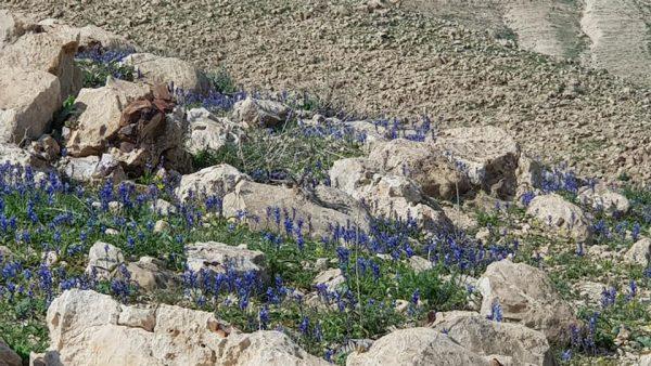 יקינתונית מעורקת Hyacinthella nervosa (Bertol.) Chouard