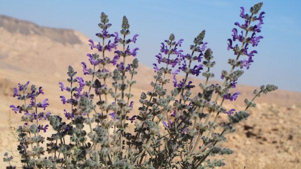 Salvia lanigera Poir.