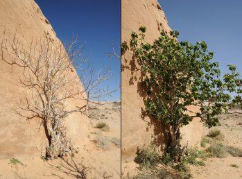 עץ מדברי קטן נשיר חורף בעל קליפת גזע בהירה
