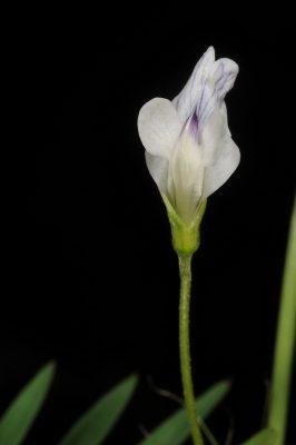בקיה ארוכת-עוקץ Vicia articulata Hornem