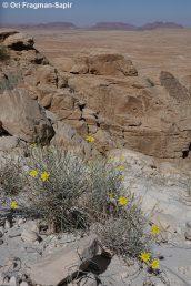 בן-שיח מאפיר וסבוך של אבני חול מדברות ושוליהן