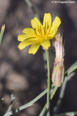הרדופנין מפותל Scorzonera tortuosissima Boiss.
