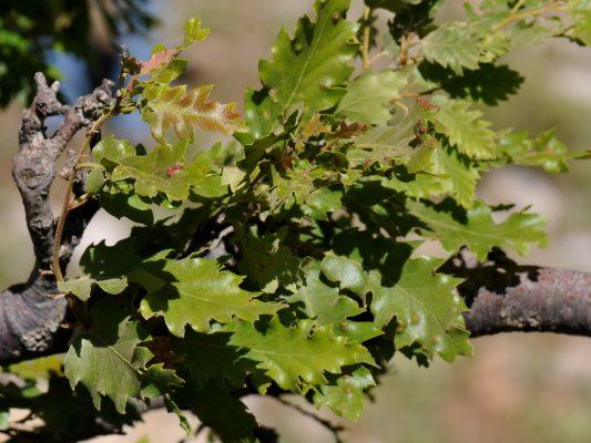 אלון חרמוני Quercus look Kotschy