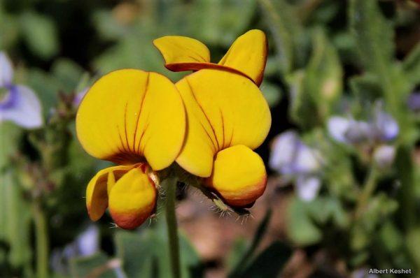לוטוס מקרין Lotus corniculatus L.
