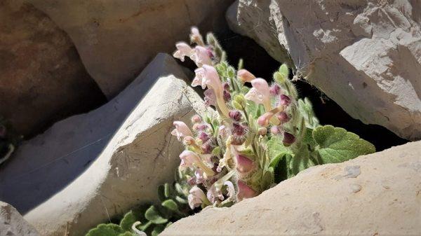 קערורית נאדית Scutellaria utriculata Labill.