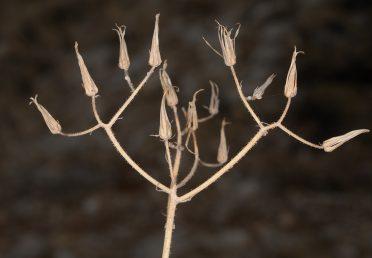 על הגבעול העליון יש שיערות בלוטיות דביקות, מכאן שם תואר במין