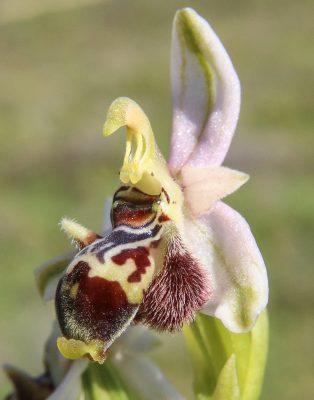 דבורנית חרטומנית Ophrys scolopax Cav.