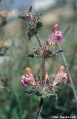 מרוות החפים Salvia bracteata Banks & Sol.