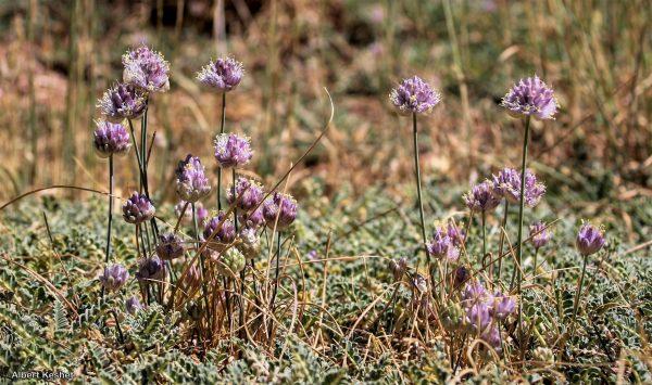 שום סנין Allium sannineum Gomb.