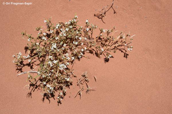 בת-מדבר צרת-עלים Eremobium lineare (Delile) Asch. & Schweinf. ex  Boiss.
