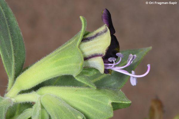 Hyoscyamus muticus L.