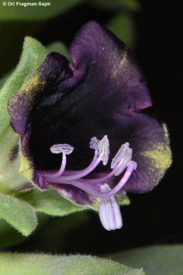 שיכרון קהה Hyoscyamus muticus L.