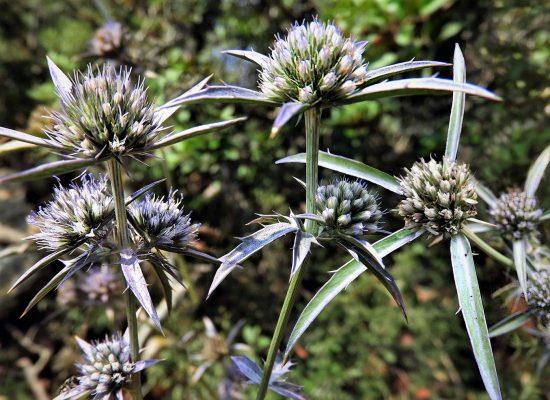 חרחבינה חרמשית Eryngium falcatum F.Delaroche