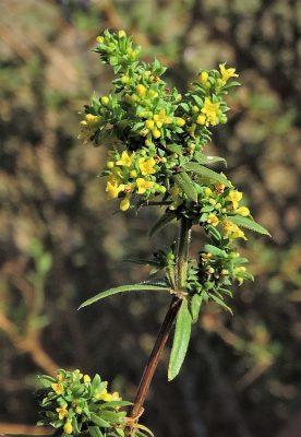 דבקה שרועה Galium humifusum M.Bieb.