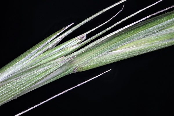 אלומית החורש Elymus panormitanus (Parl.) Tzvelev