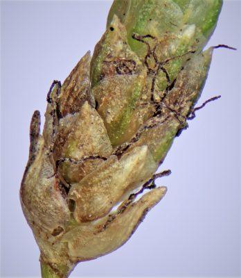 אגמון שרוע Scirpus supinus L.