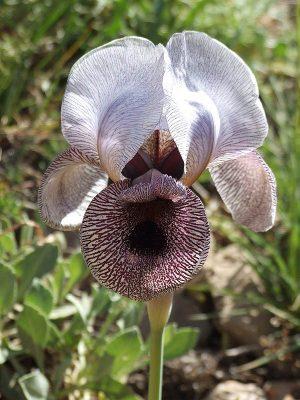 אירוס ווסט Iris westii Disnm.