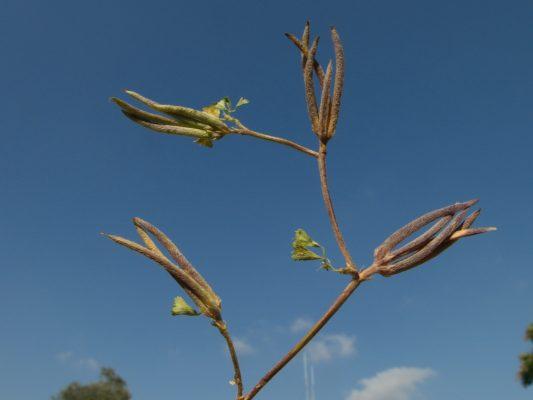 גרגרנית הקילשון Trigonella crassipes Boiss.