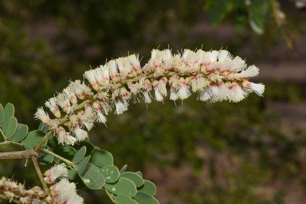 שיטה רעננה Acacia laeta R.Br. ex Benth.