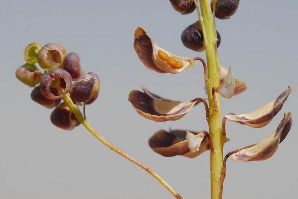 Aethionema heterocarpum Trev.