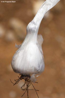שום ההרים Allium pseudocalyptratum Mouterde