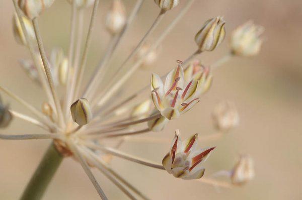 שום המדבר Allium sindjarense Regel