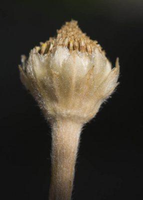 קחוינה חרמונית Anacyclus nigellifolius Boiss.