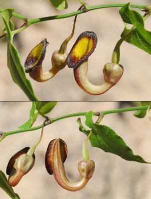 ספלול מטפס Aristolochia sempervirens L.