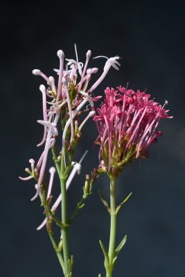 Centranthus longiflorus Steven