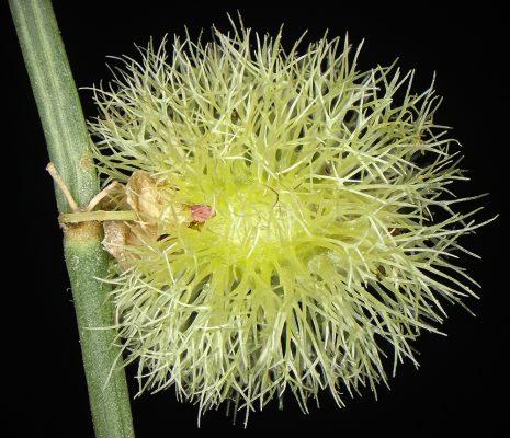 שבטוט מצויץ Calligonum comosum L'Her.