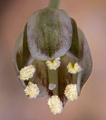 שום קולמן Allium kollmannianum Brullo, Pavone & Salmeri