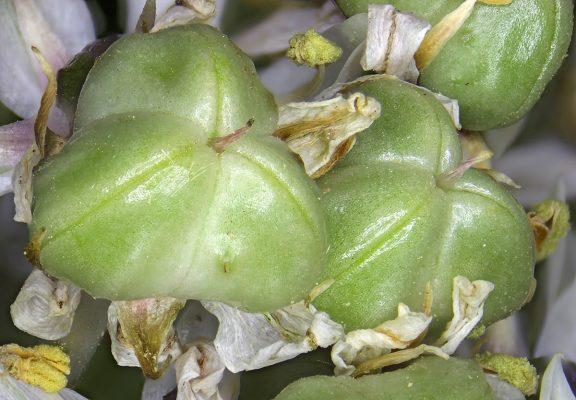 Allium basalticum Fragman & R.M.Fritsch