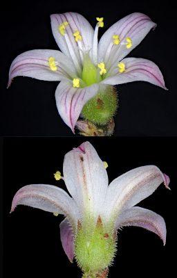 שושנתית הלבנון Rosularia libanotica (Labill.) Muirh.