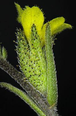 שיננית צהובה Odontites aucheri Boiss.