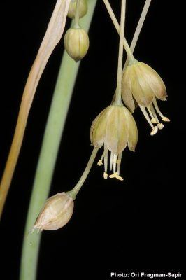 Allium albotunicatum O.Schwarz