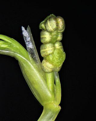 רופיה לוליינית Ruppia cirrhosa (Petagna) Grande