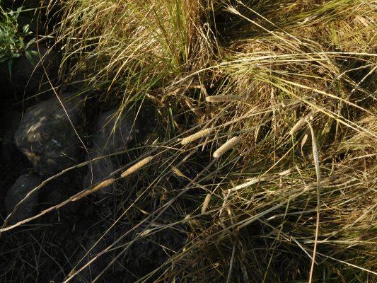 איטן המפרקים Phleum pratense L.