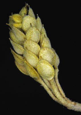 אליסון חרוטי Alyssum szovitsianum Fisch. & C.A.Mey.