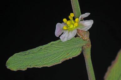 העלים בעלי פטוטרת קצרה, אליפטיים-אזמלניים או סרגליים-אזמלניים; בצידם התחתון עורק אורכי בולט, שממנו מסתעפים, בזווית חדה, עורקים צדדיים