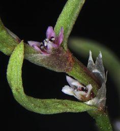 הפרחים לבנים או ורודים, בודדים או בקבוצות של 2, נישאים בחיק העלים והשופריות; המאבקים כהים.
