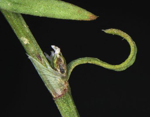 ארכובית הררית Polygonum polycnemoides Jaub. & Spach